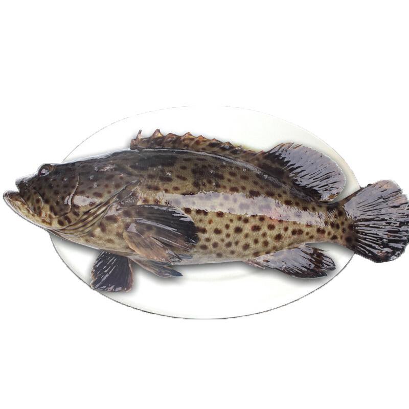 【冰鲜】渔传播 海南冰鲜青石斑鱼 500-650g 1条 海鲜水产 石斑鱼 火锅食材